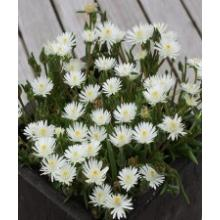 Delosperma Jewel of the Desert Moonstone