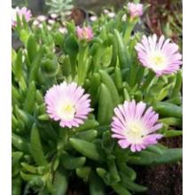 Delosperma Jewel of the Desert Rozequarts