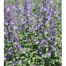 Nepeta Faassenii Junior Walker